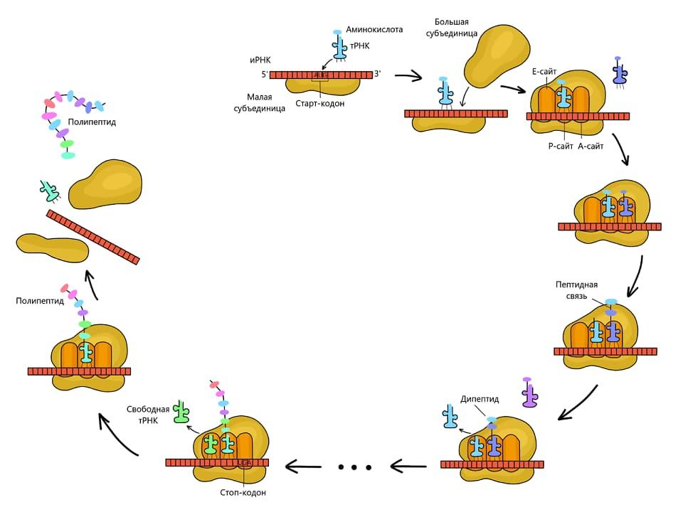 Трансляция — второй этап биосинтеза белка