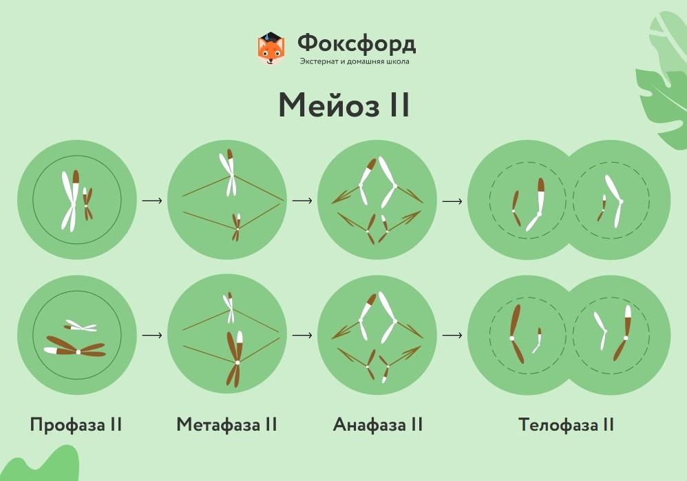 Мейоз II подразделяется на четыре фазы