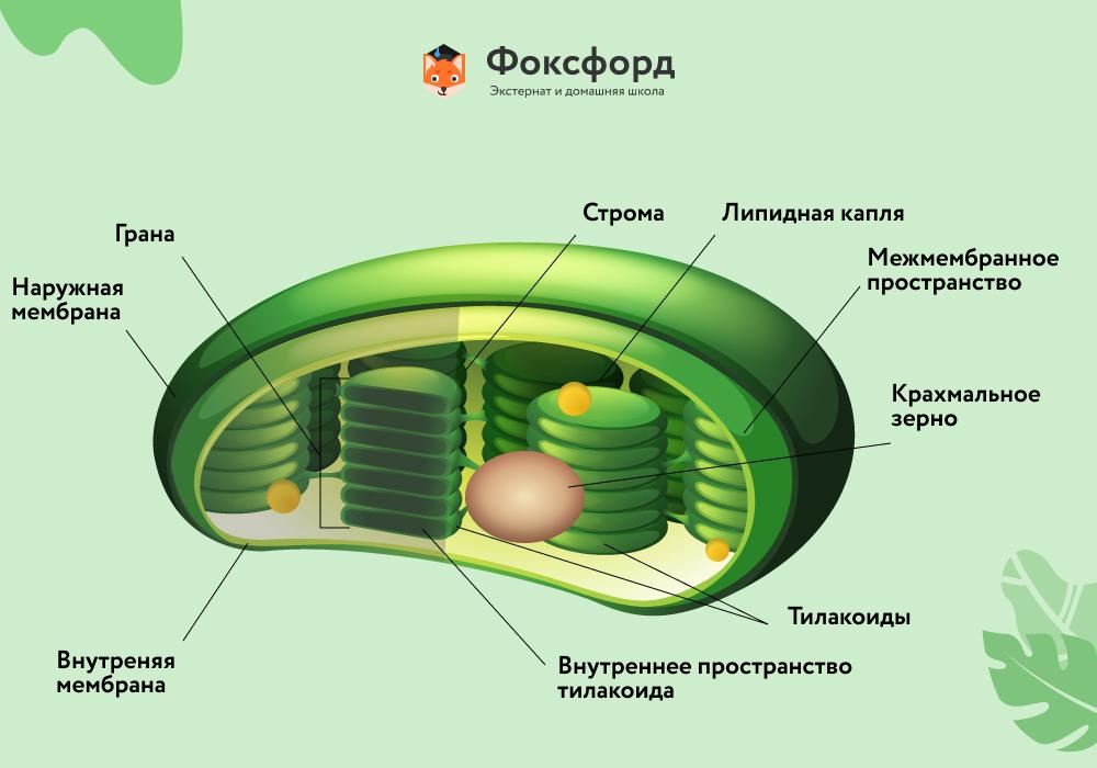 Строение хлоропласта высших растений