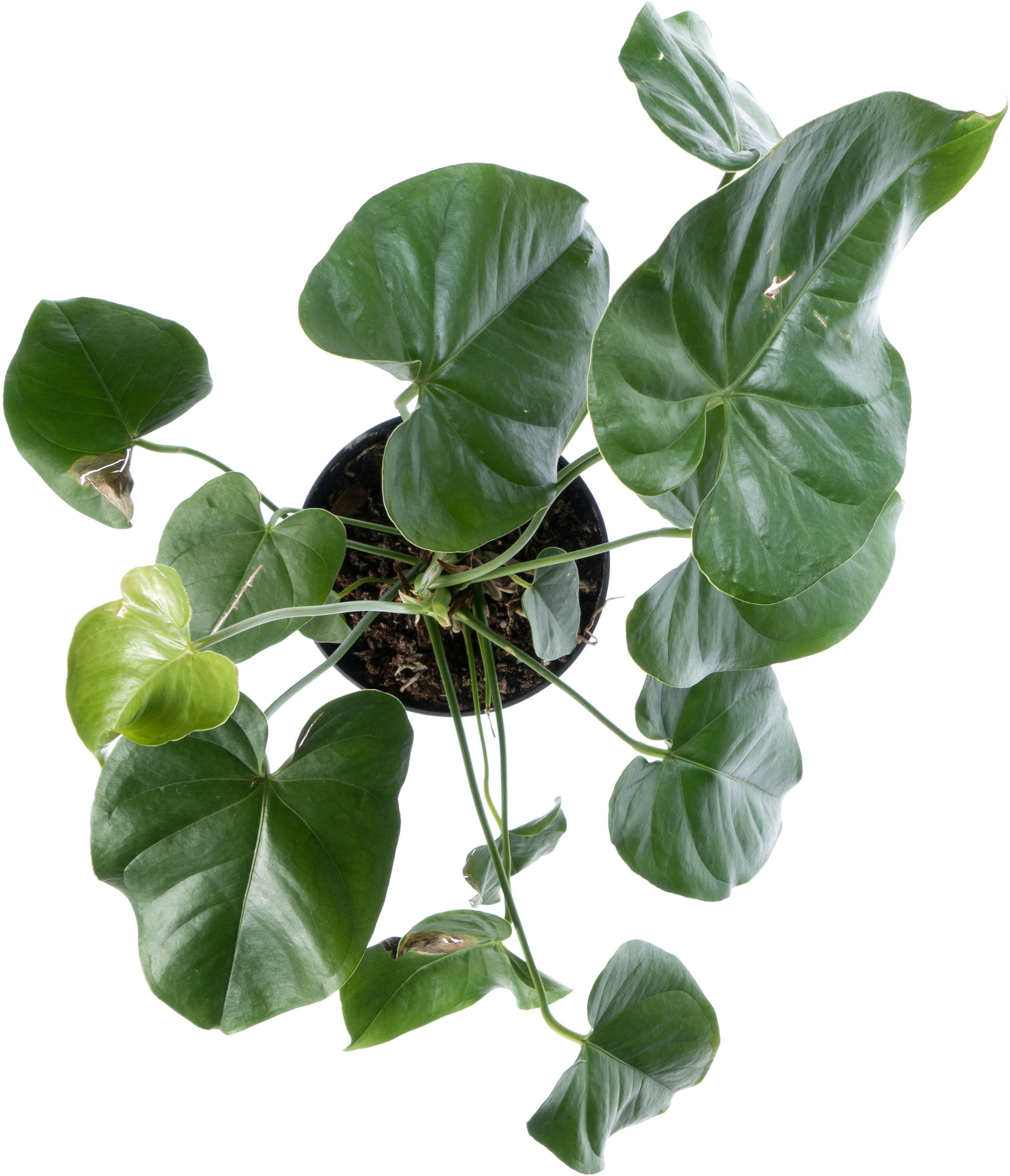 Leafy potted plant