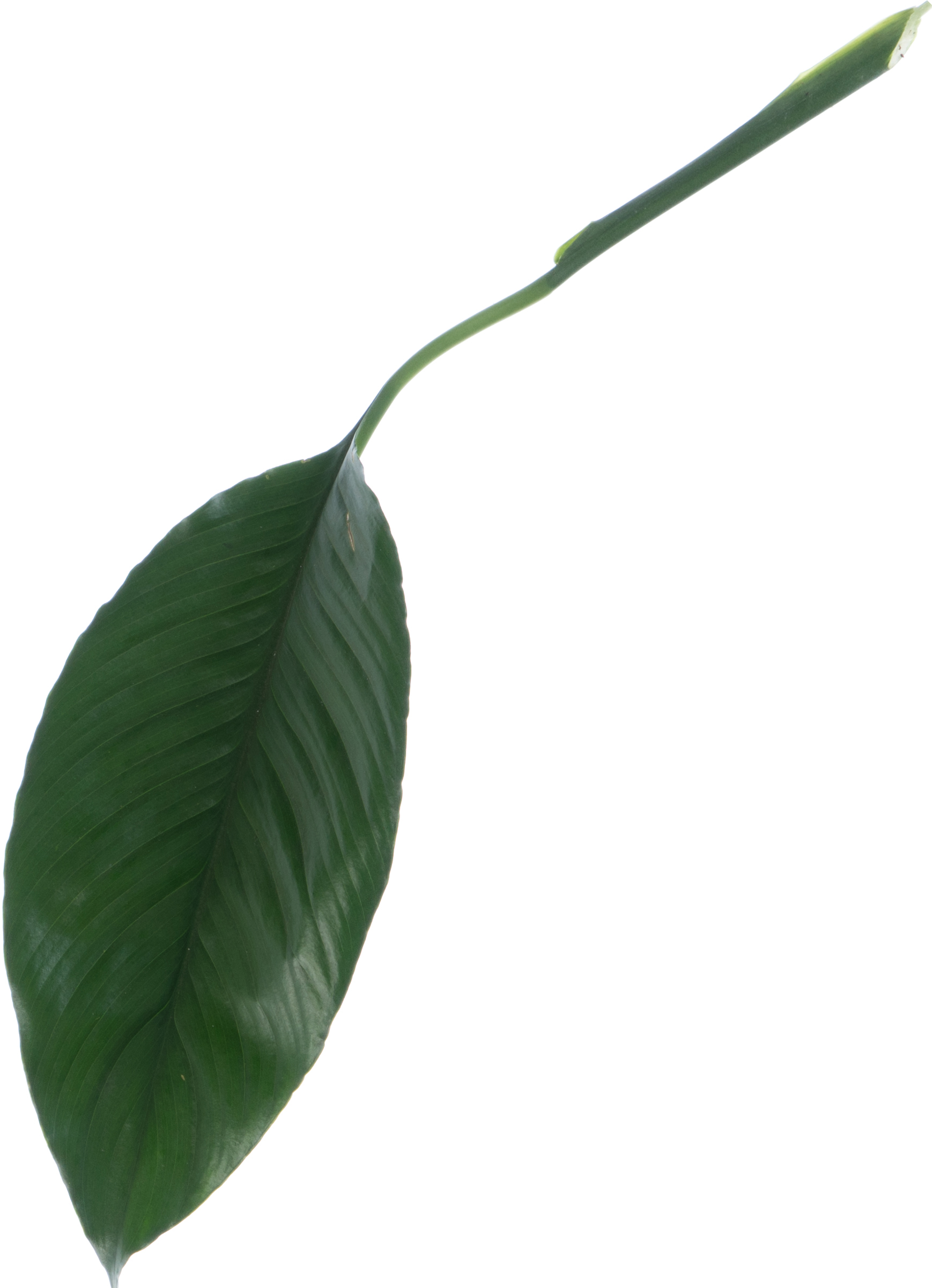 Big tropical plant leaf