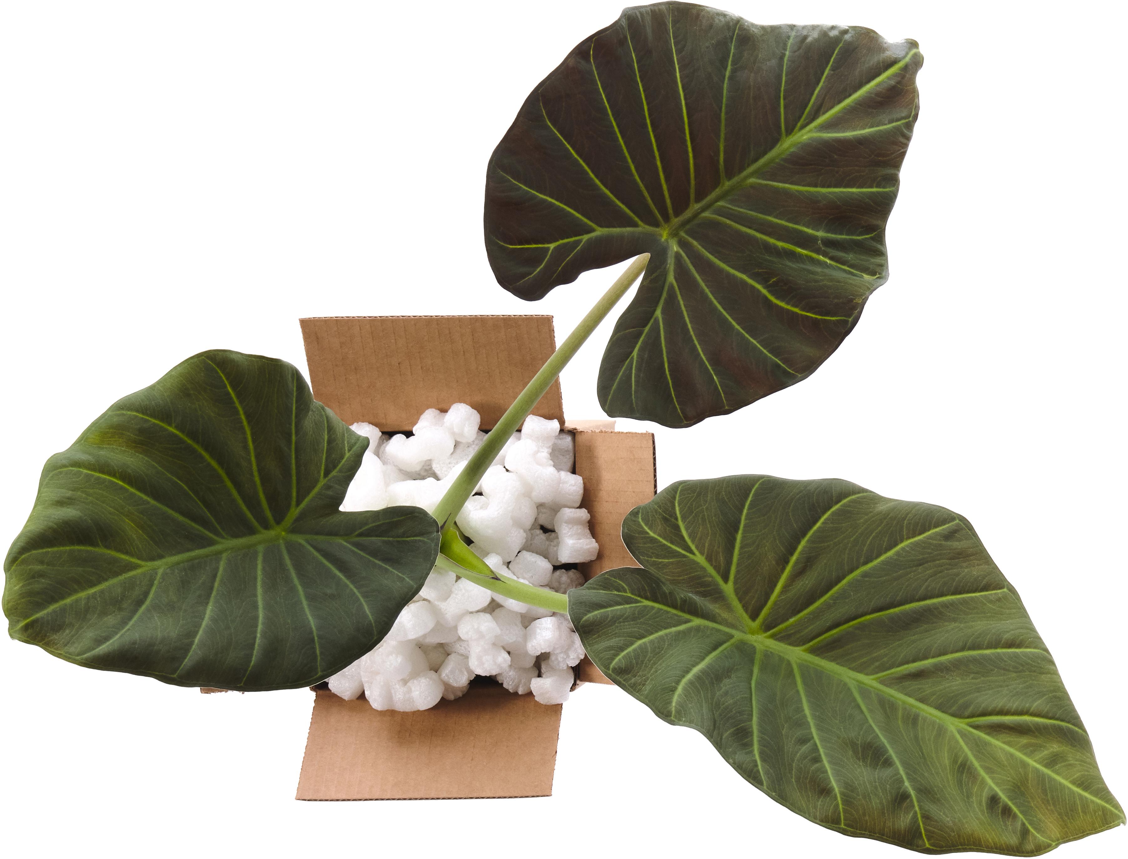A big leafy plant in a box