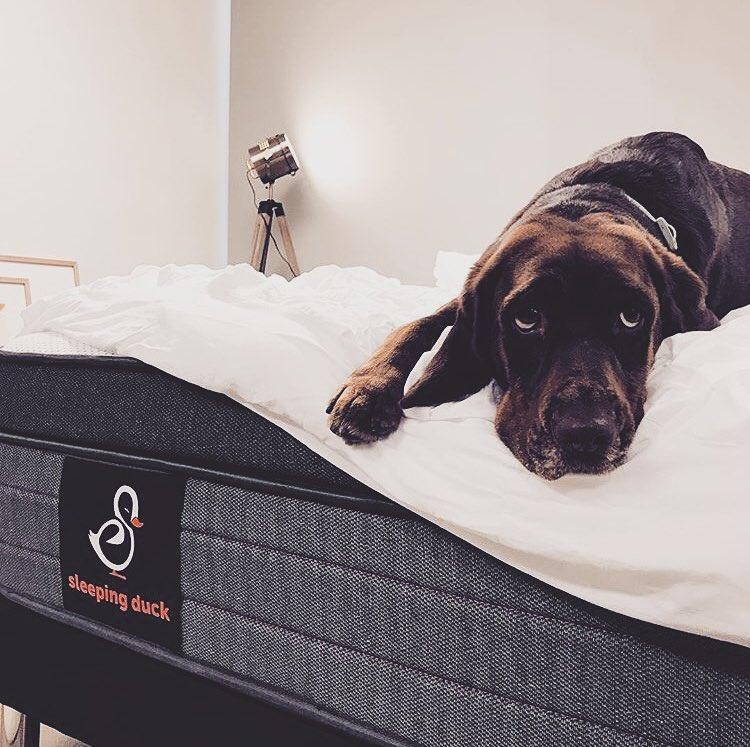 Dog lying on Sleeping Duck mattress