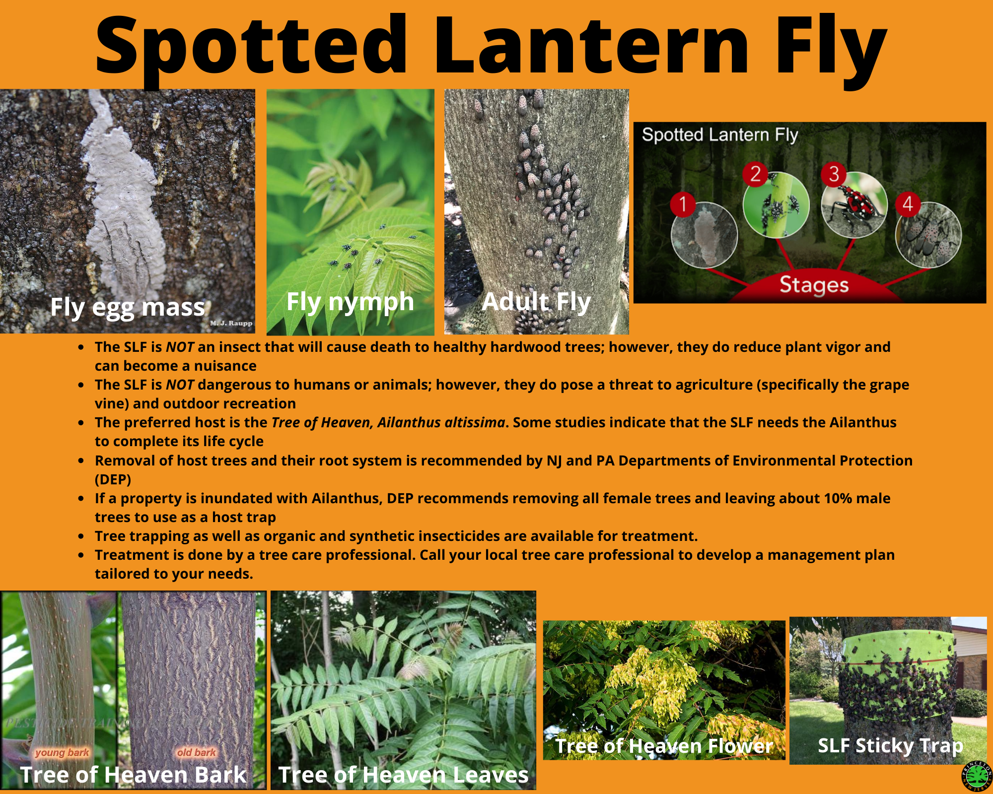 Spotted lantern fly description and tips