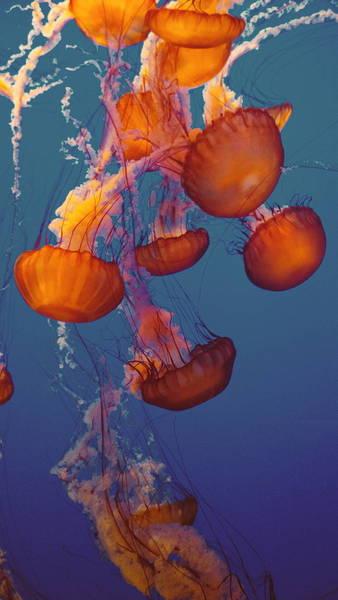 Sea Nettle Jellyfishes Swimming Undersea