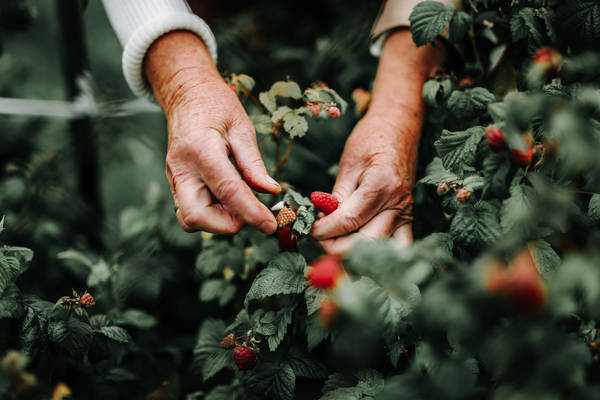 Cropped Image Of Hands Picking Raspberries