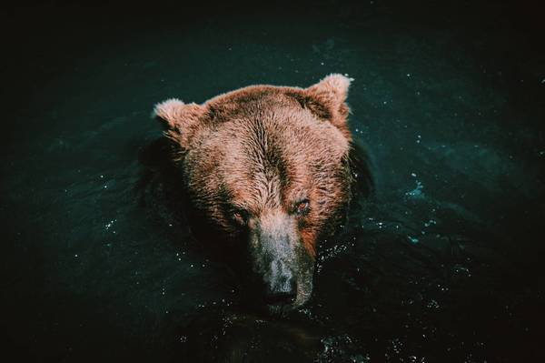 close-up of brown bear in lake