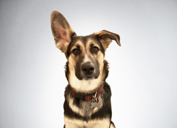 Woody is the youngest member of the QA team, having been born in late spring of 2017 in Inverness, CA. Woody was rescued from the fate of being put in a box with his brothers at a bar with the sign 'free puppies' and landed his job as new Security Intern soon after. Timber is teaching him all the right moves, and one day Woody might be able to successfully guard the office from the scary package delivery people.