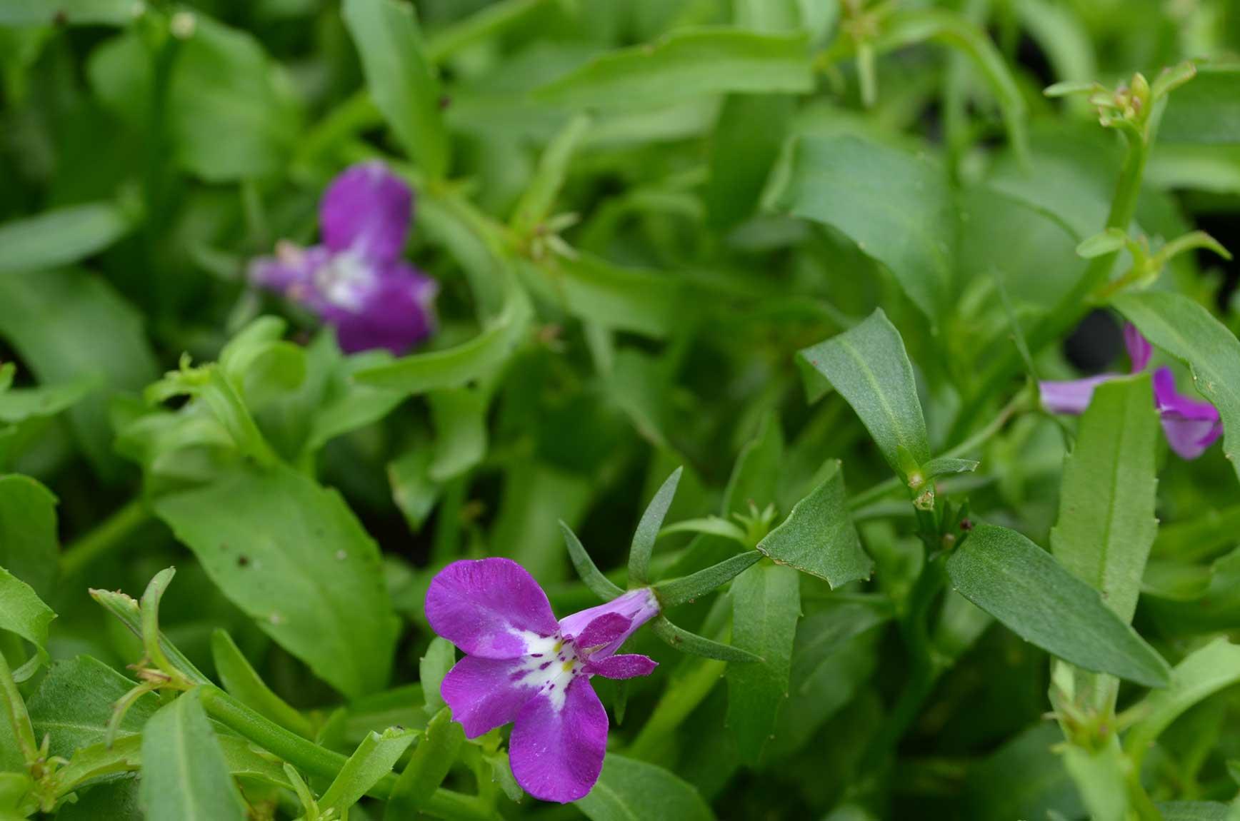 Lobelia Magadi Compact Purple Floral Acres