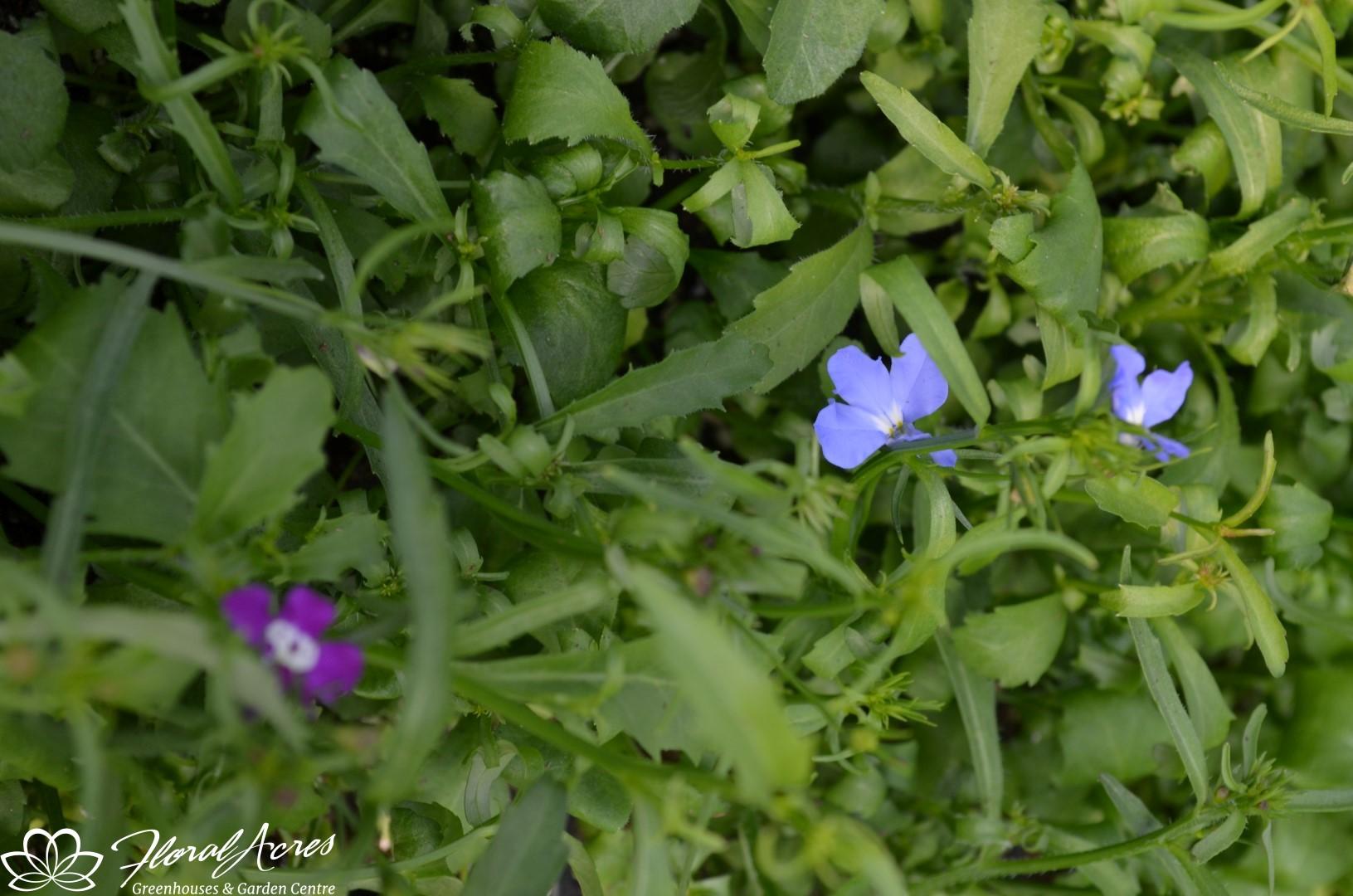 Lobelia Regatta Mix Trailing Floral Acres