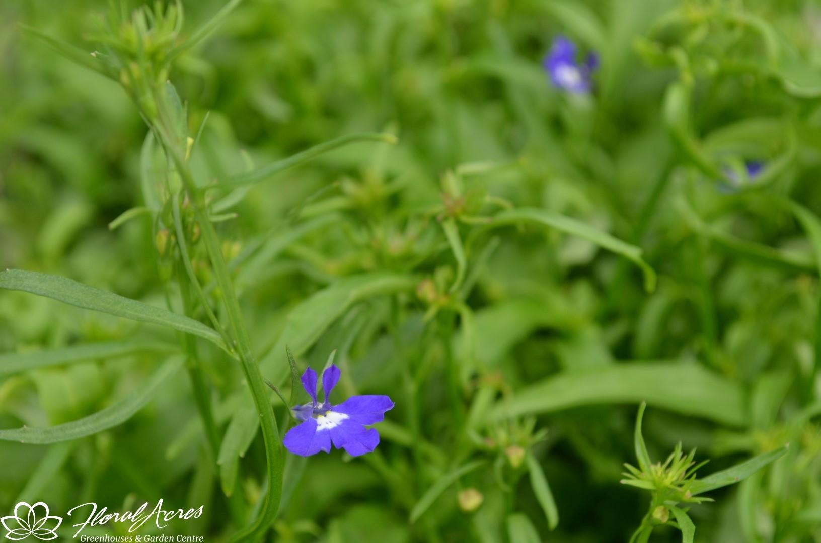 Lobelia Regatta Sapphire Trailing Floral Acres