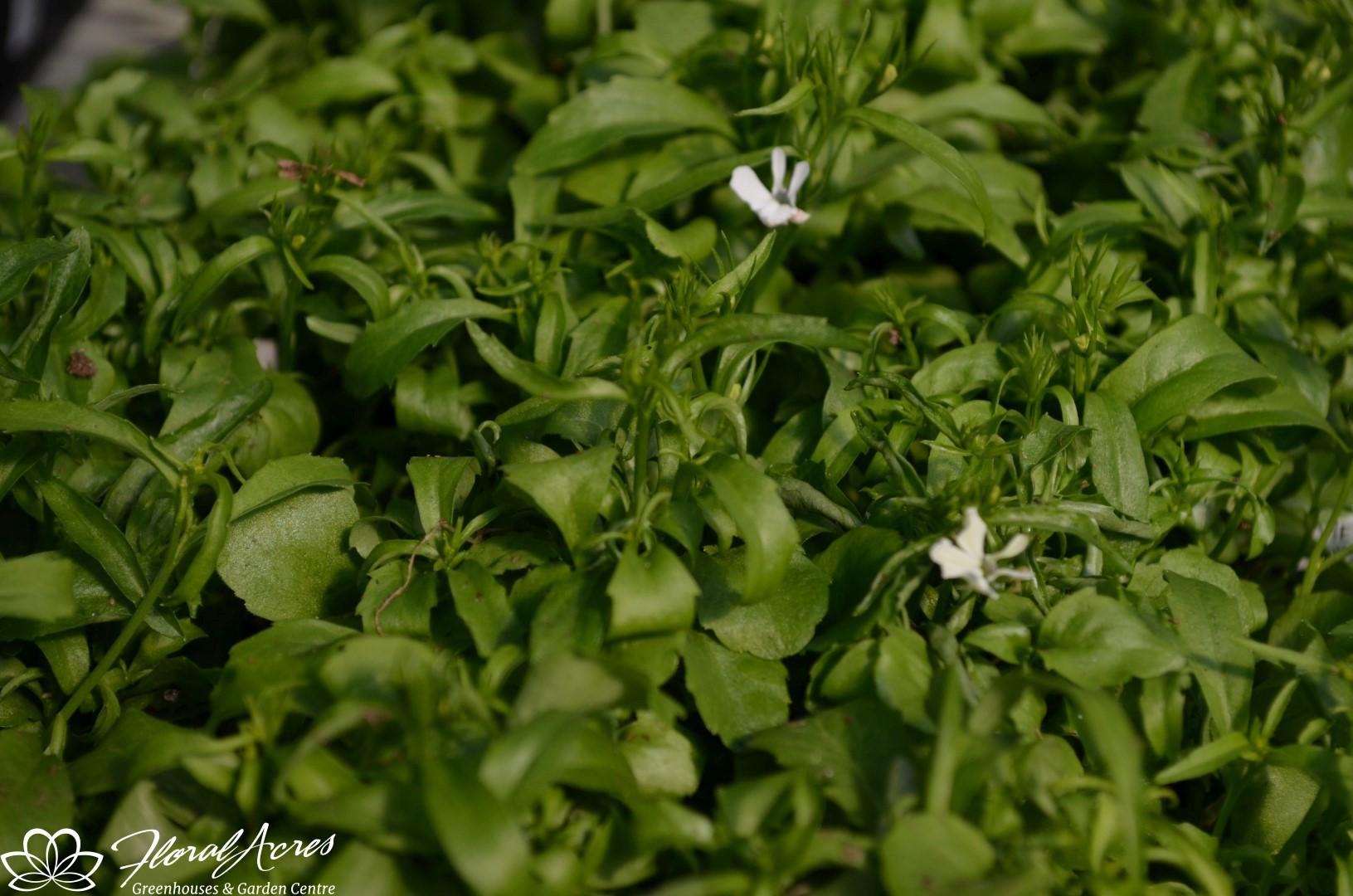 Lobelia Regatta White Trailing Floral Acres