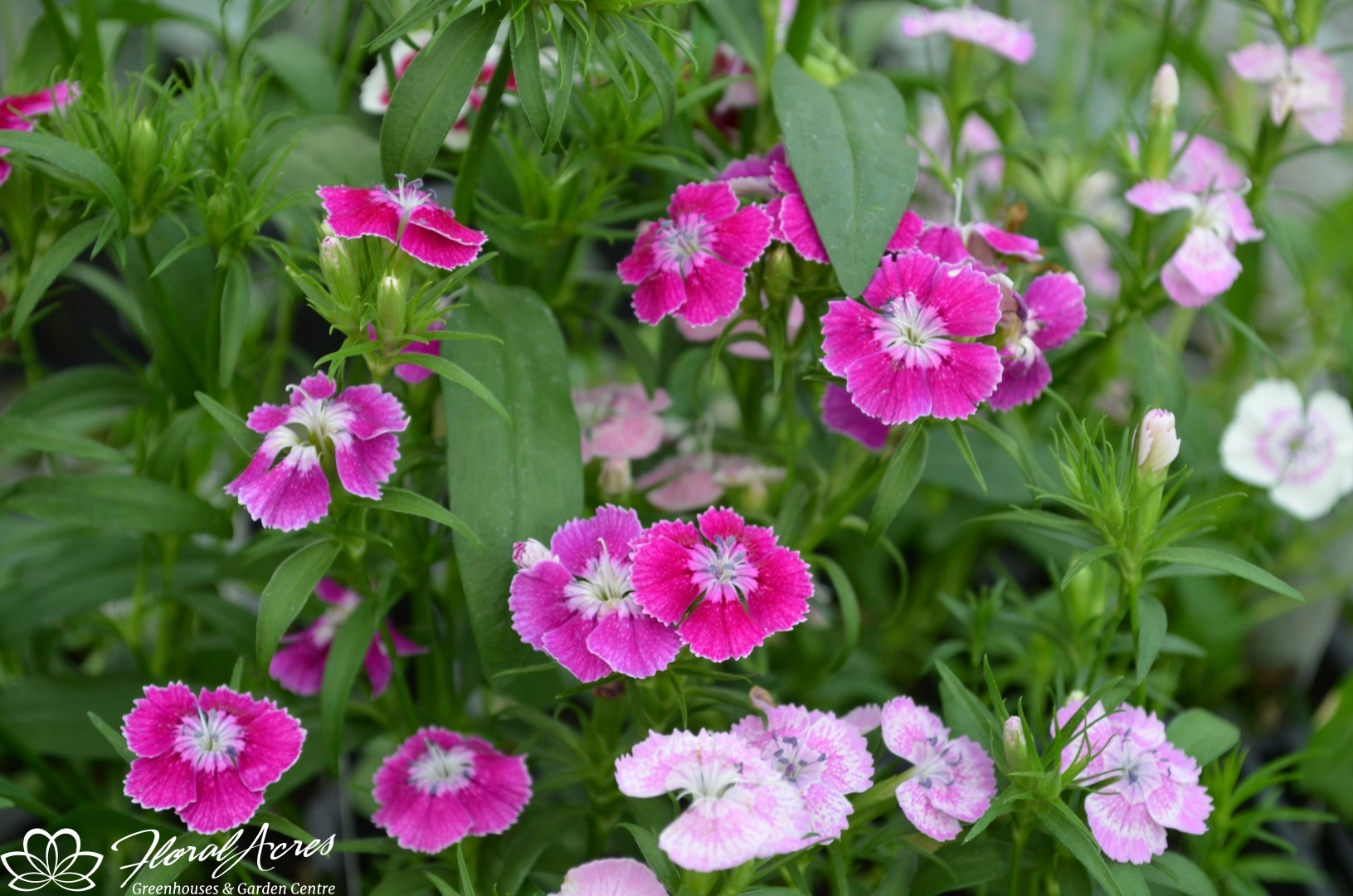 Dianthus Corona Strawberry Floral Acres