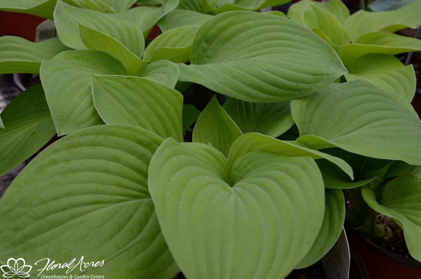 Hosta August Moon Sun Tolerant Floral Acres