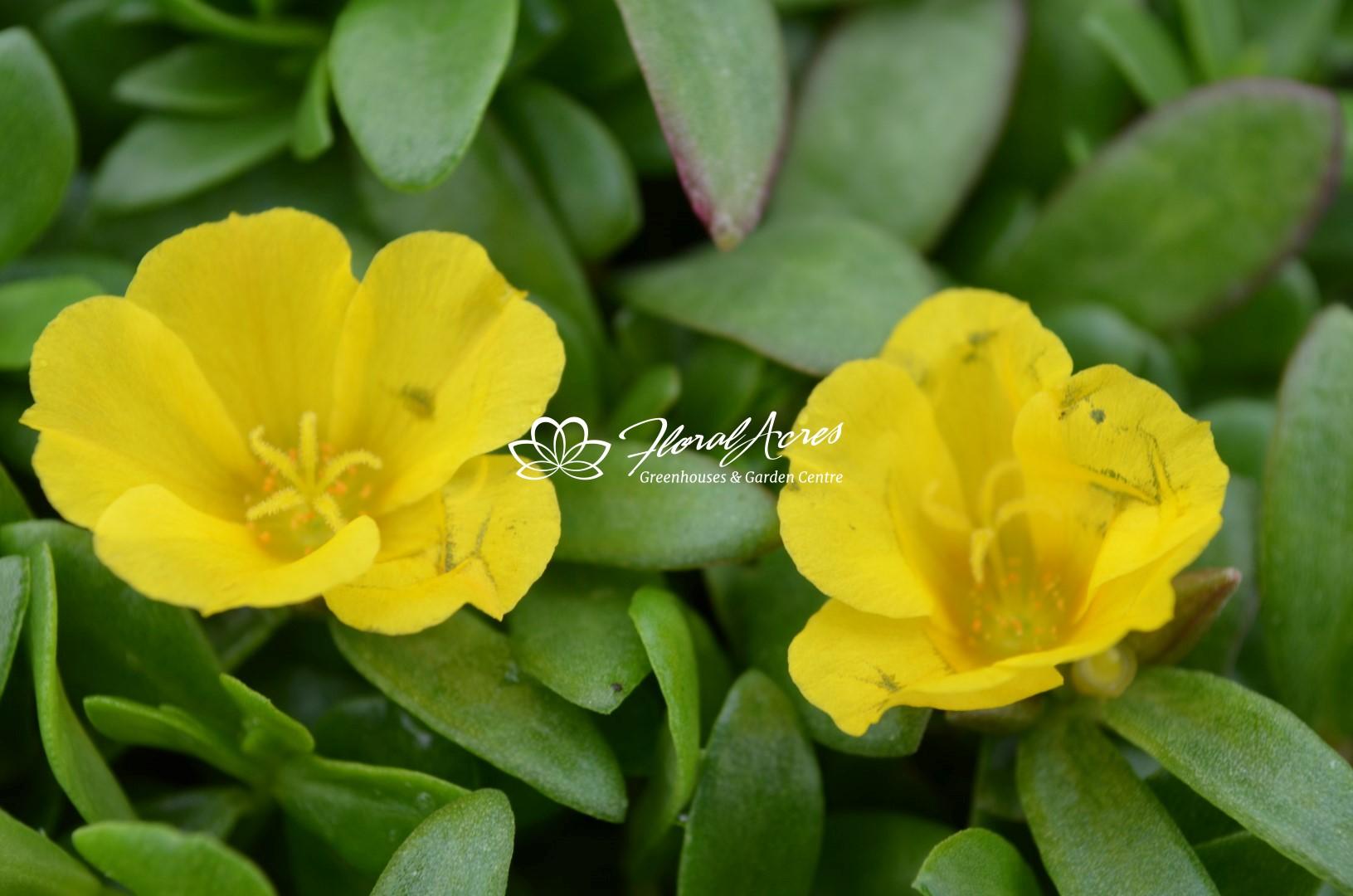All Plants | Floral Acres | Saskatoon Greenhouse