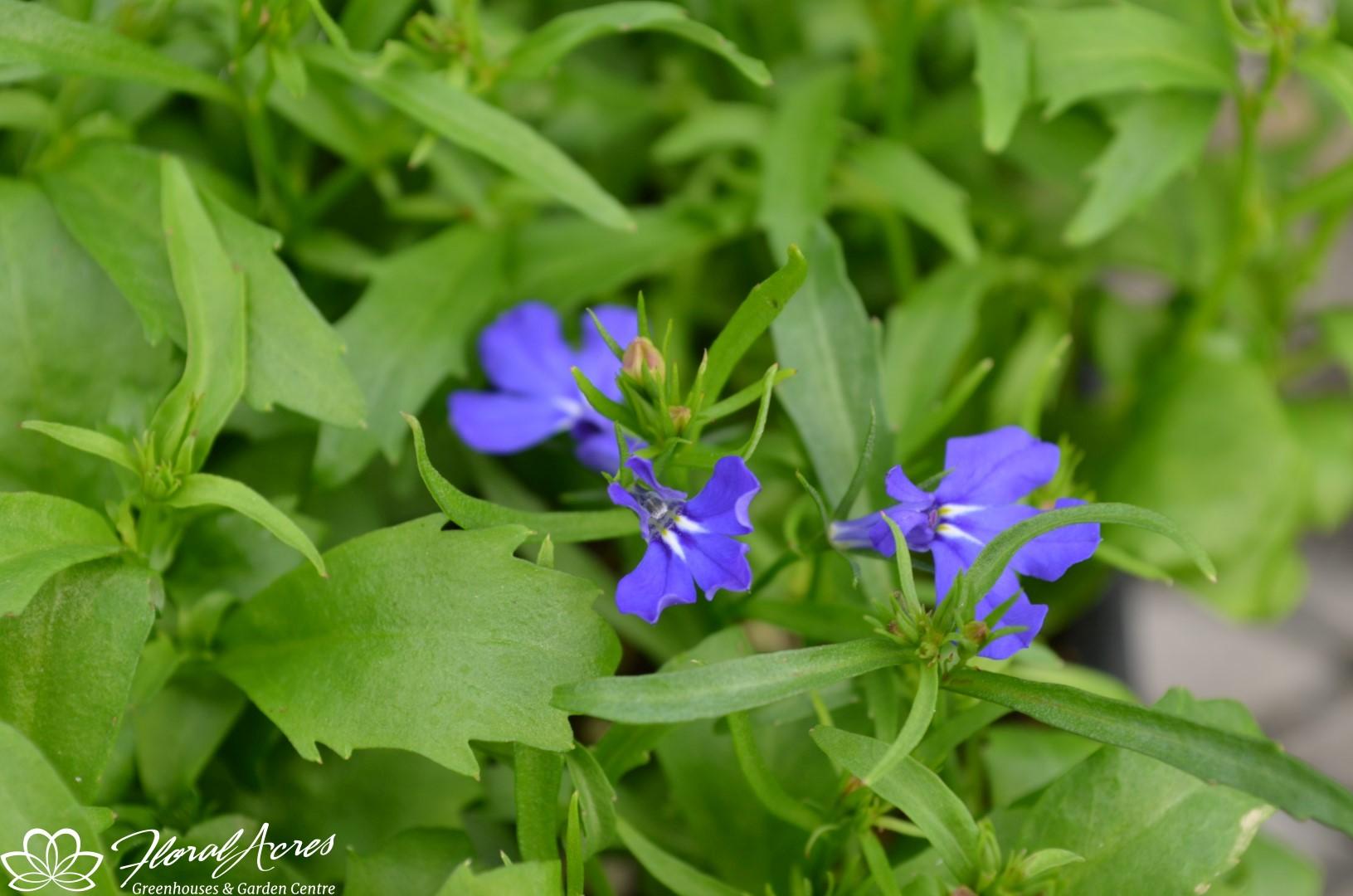 Lobelia Riviera Marine Blue Compact Floral Acres