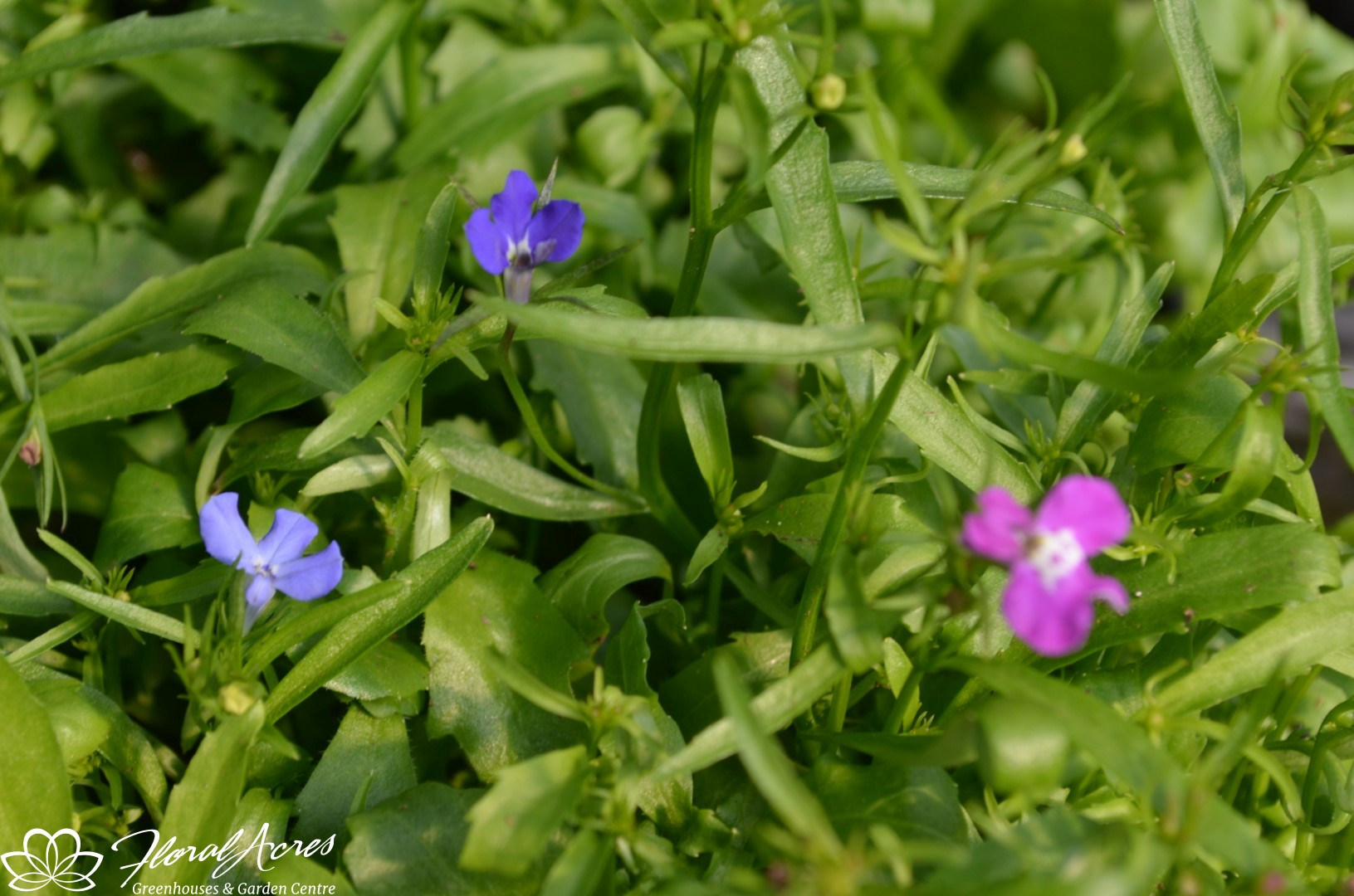Lobelia Magadi Compact Blue Floral Acres
