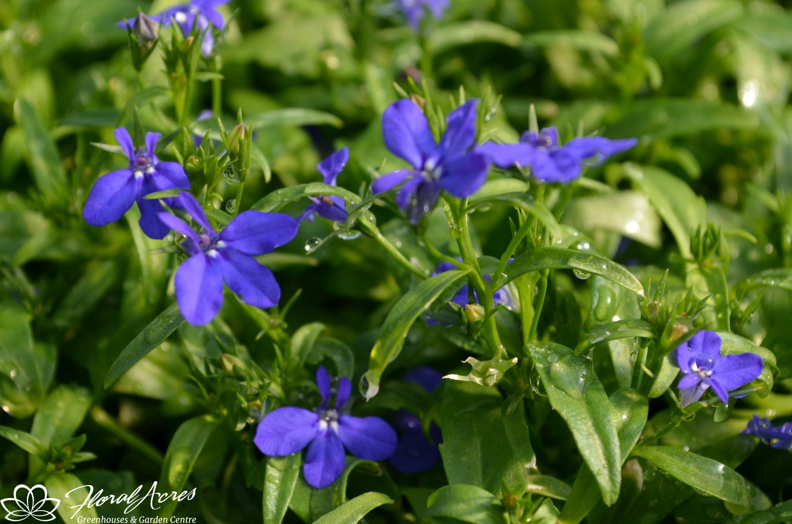 Lobelia Magadi Basket Dark Blue Floral Acres