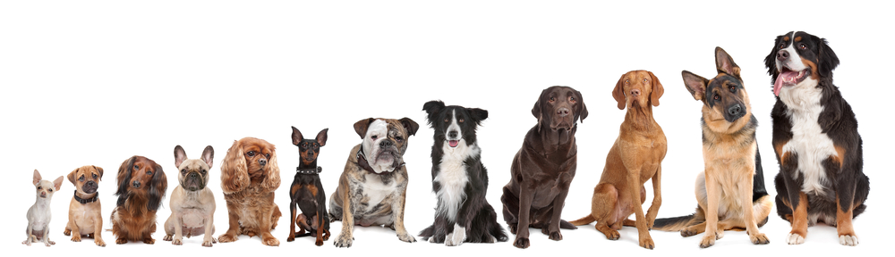 Dogs lined up in a line from smallest to largest