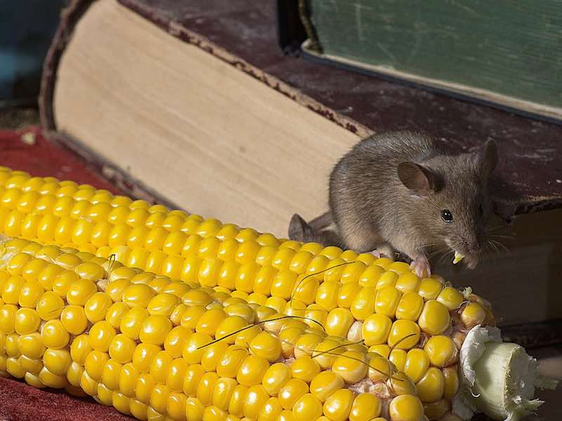 Professional pest inspectors see signs of mouse infestations