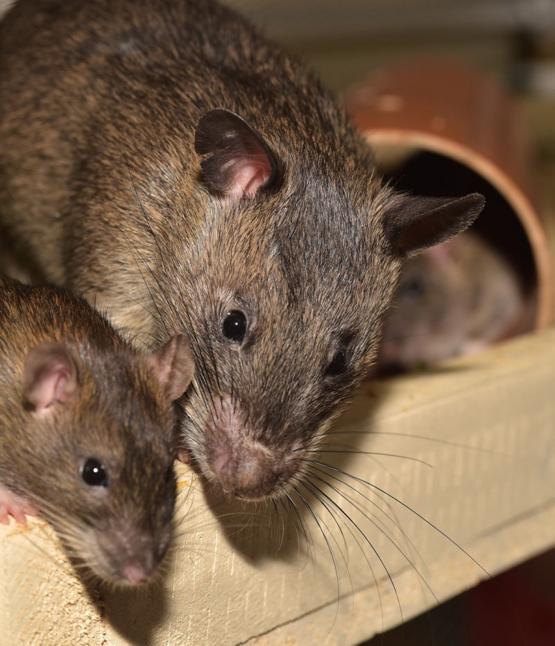 mice rodent control