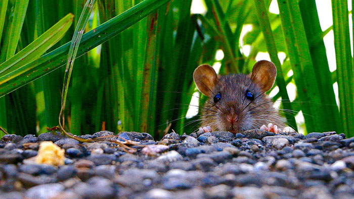 Pest inspections find Logan rat infestations