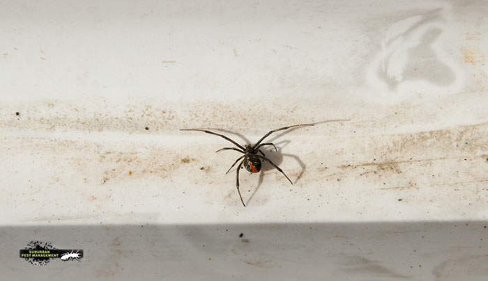 Redback spider discovered at the base of the skirting board during a pest inspection.