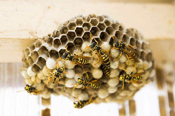 Wasp nest inside the home can become a big problem without pest control Elimbah