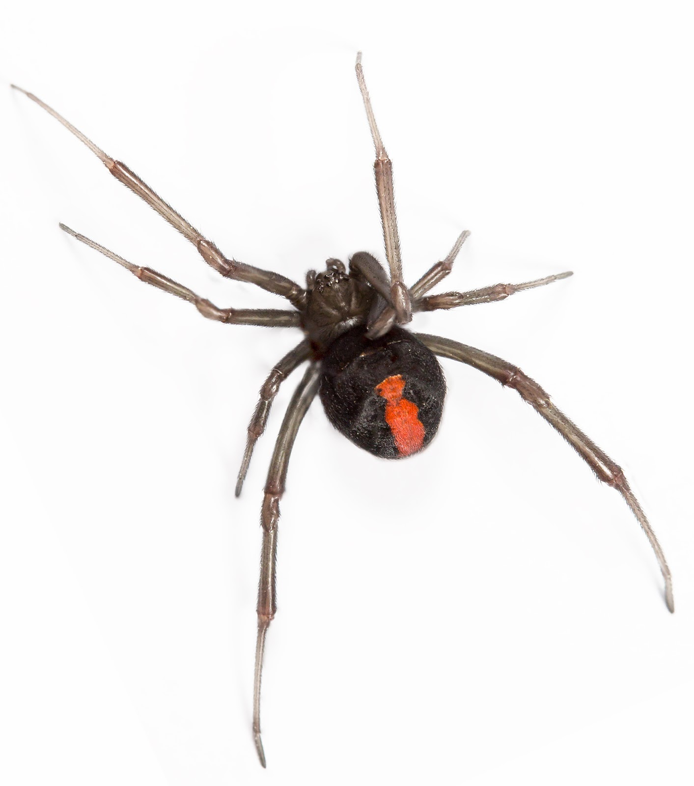 Bug control Sunnybank Hills includes control of spiders, like this venomous Redback Spider
