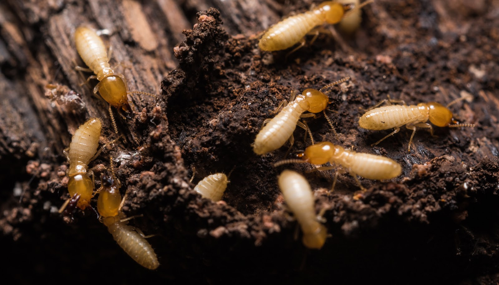 Pest inspections look for signs of pests like termites crawling on timber.