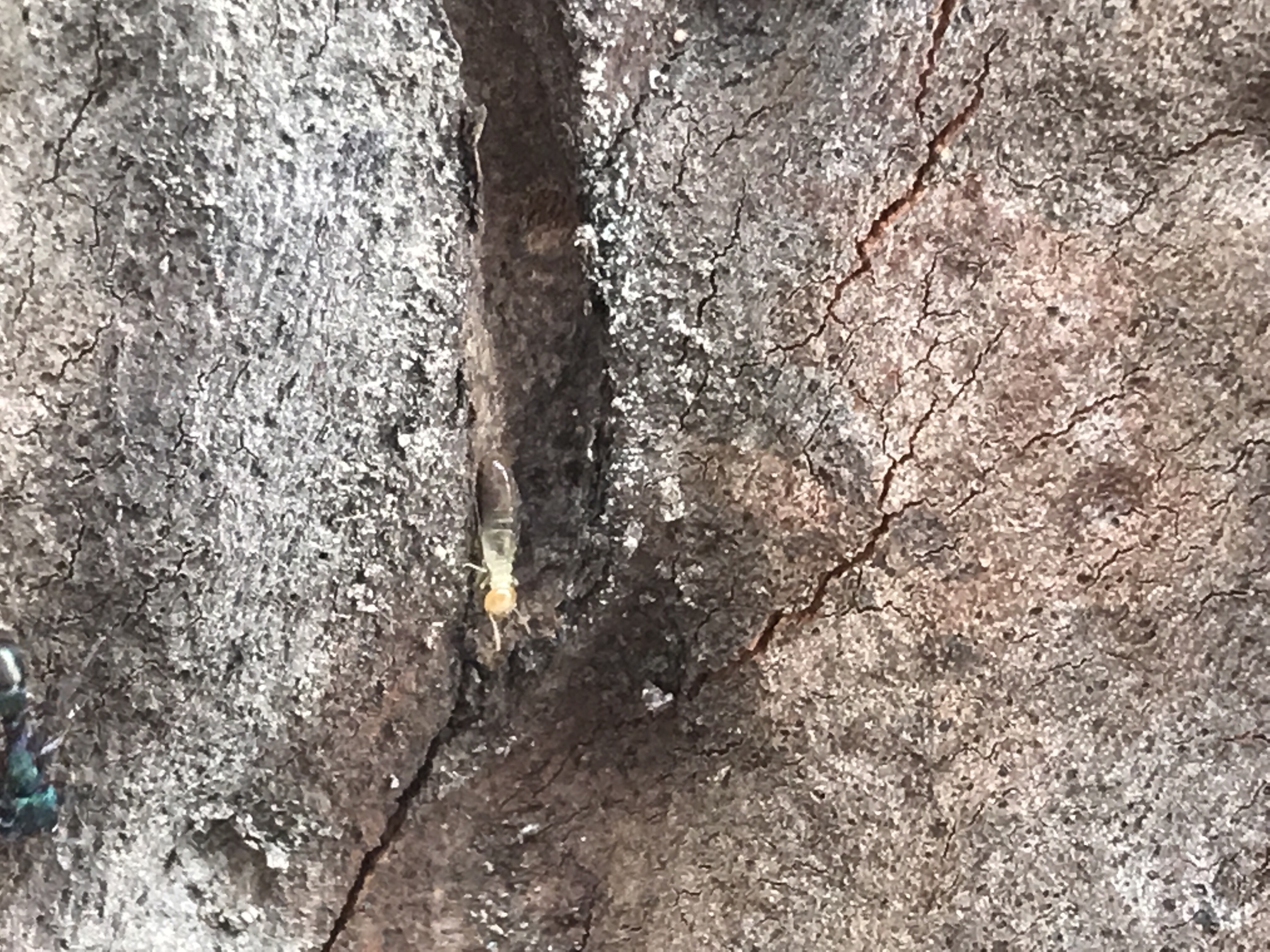 A nasute termite climbing in a crevice on a tree is a common discovery during pest control Narangba