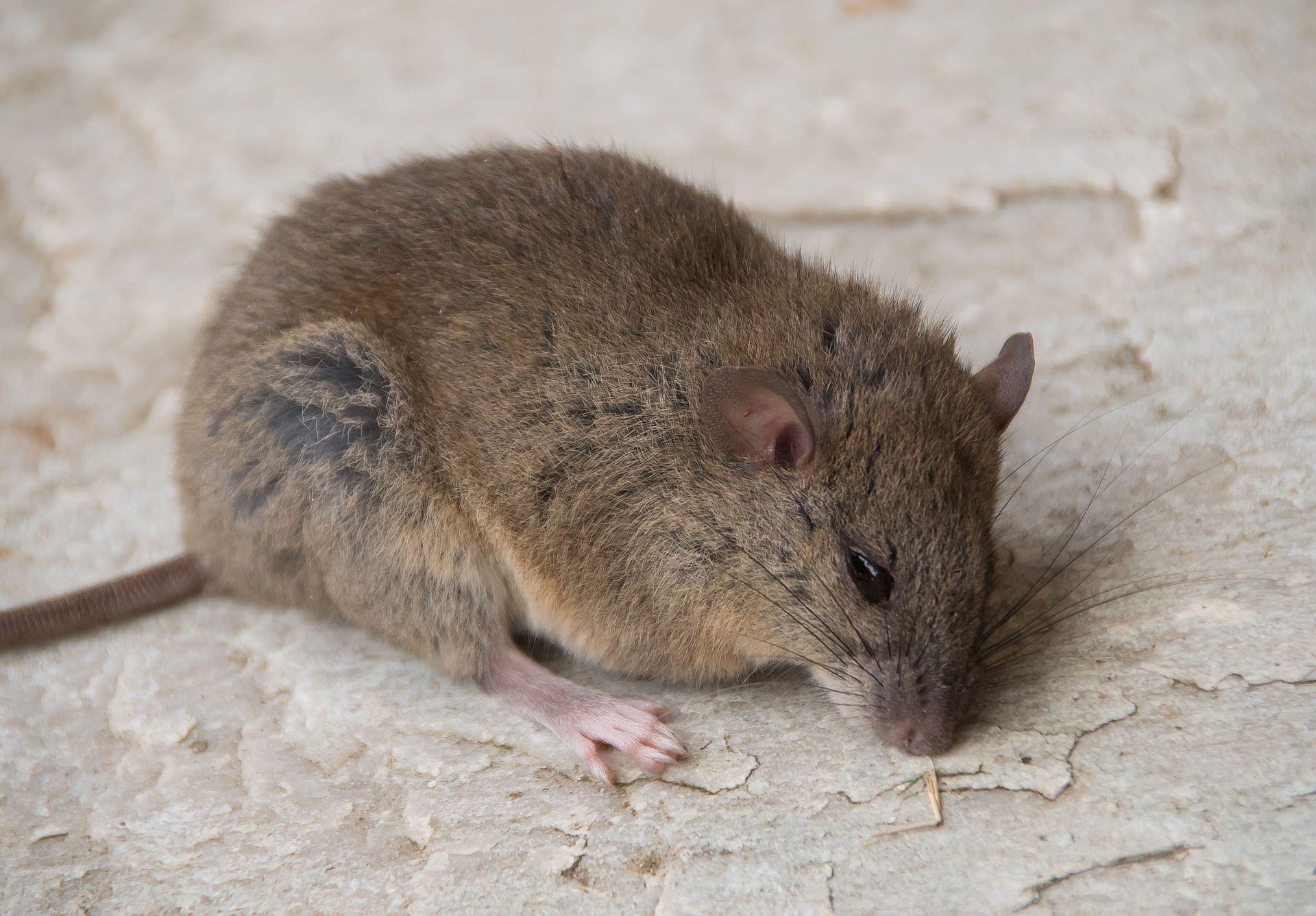 Rodent control considers protected species like this grassland melomys.