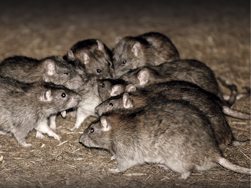 rodent control for Narangba residents