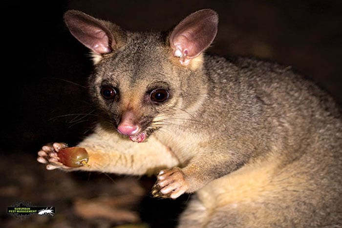 Pest controller Murrumba Downs can help with brushtail possums like this one eating a grape at night.
