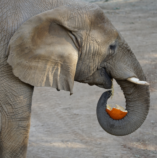 Elephant with pumpkin copy.jpg