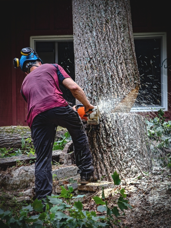 a tree worker using a chainsaw to cut the bottom of a wide tree trunk