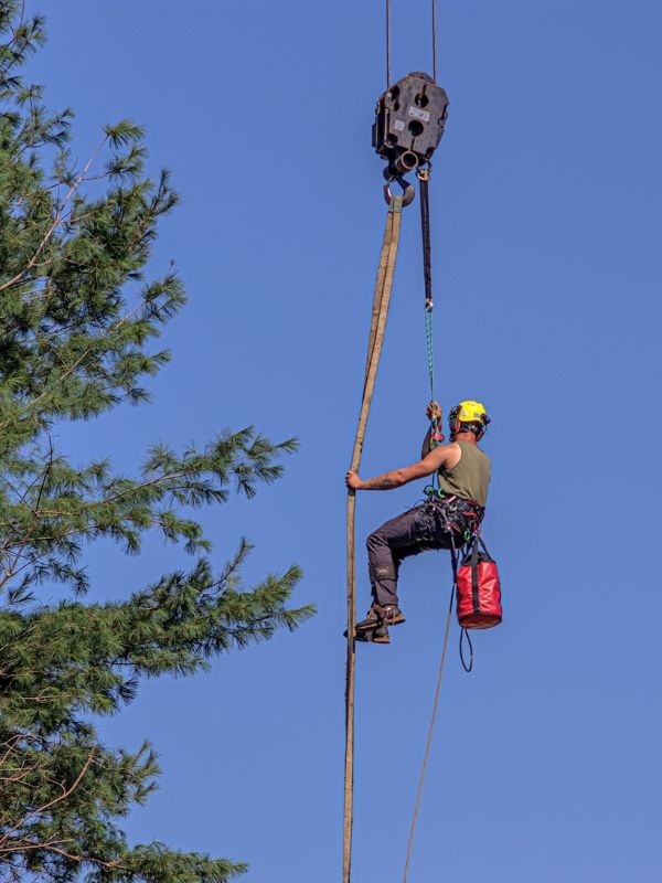 a tree climber way up in the air being moved by a crane to reach the top of a giant pine tree