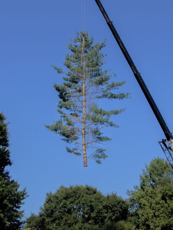 a large pine tree being lifted by a crane then onto the ground