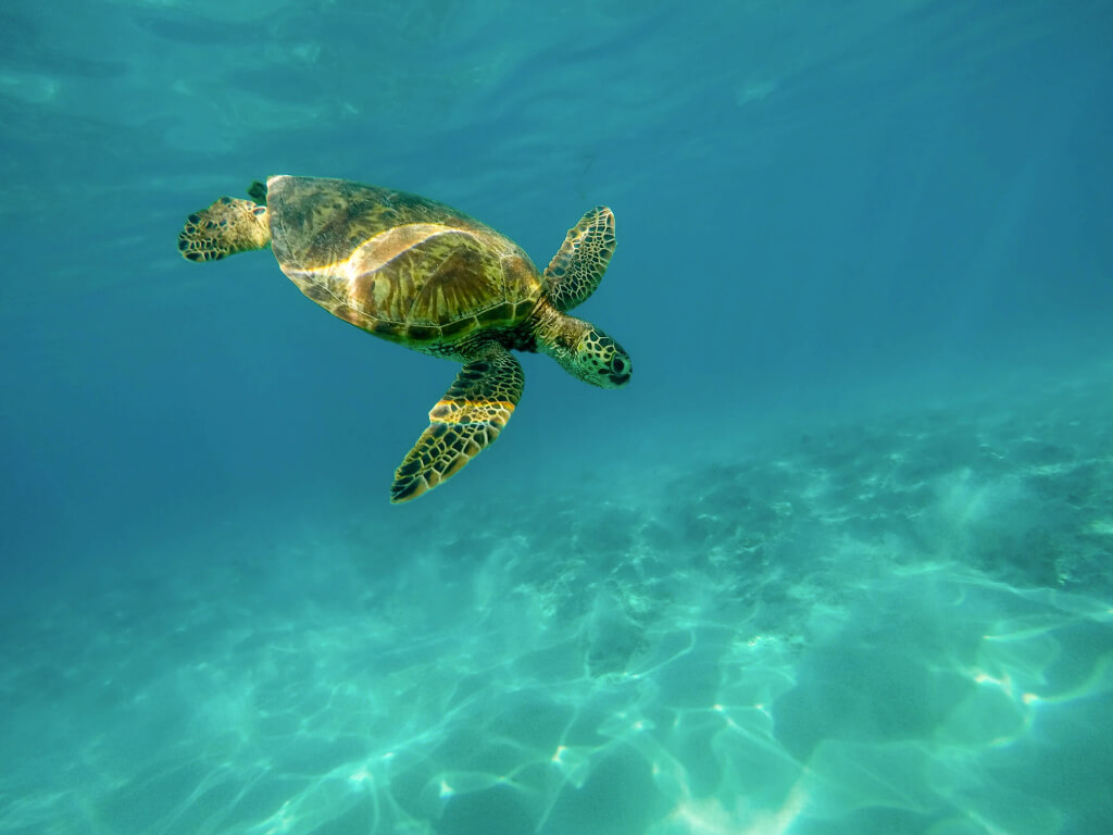 underwater with a green sea turtle