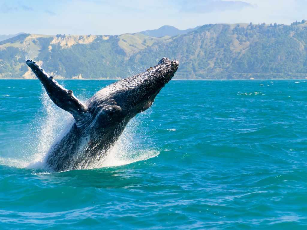 observation des baleines à Hawaï