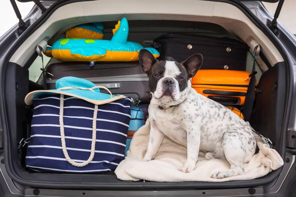bulldog in car trunk.