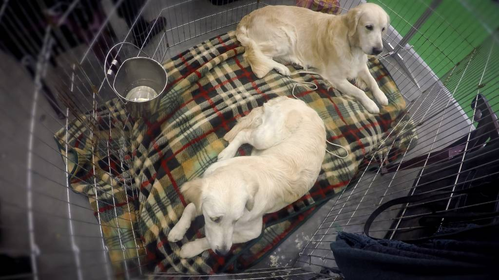 two golden retrievers in a crate.