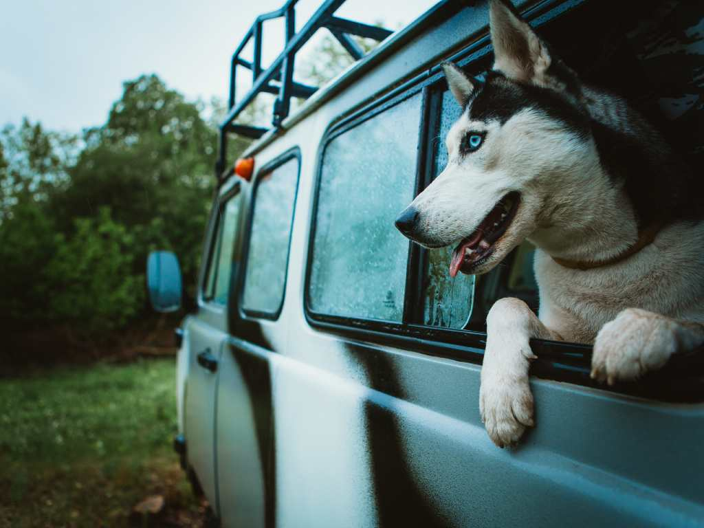 husky dog looking out car window.