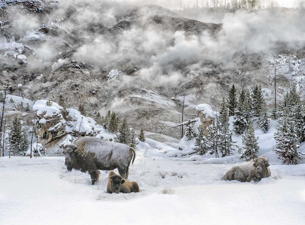 bison in the snow in Yellowstone.