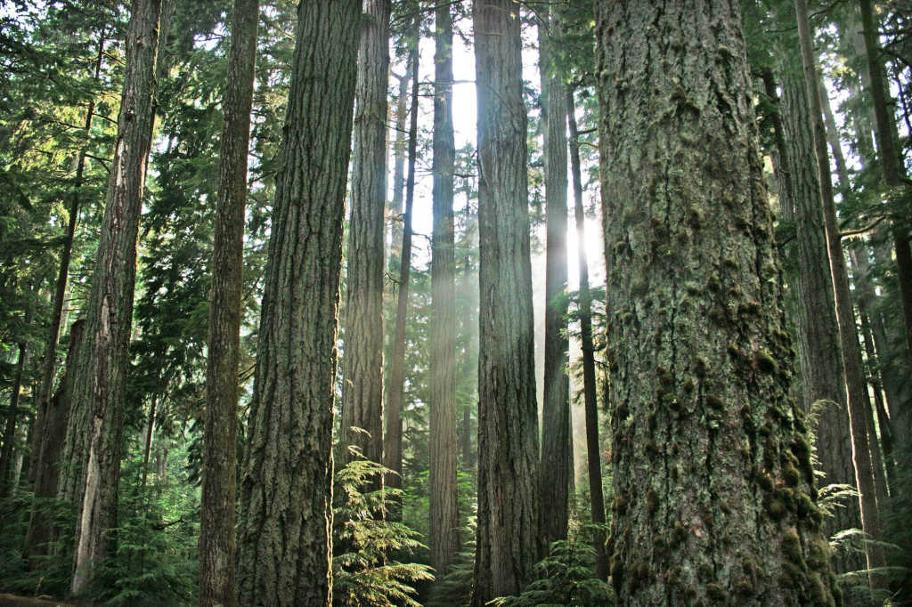 forest on Vancouver Island.