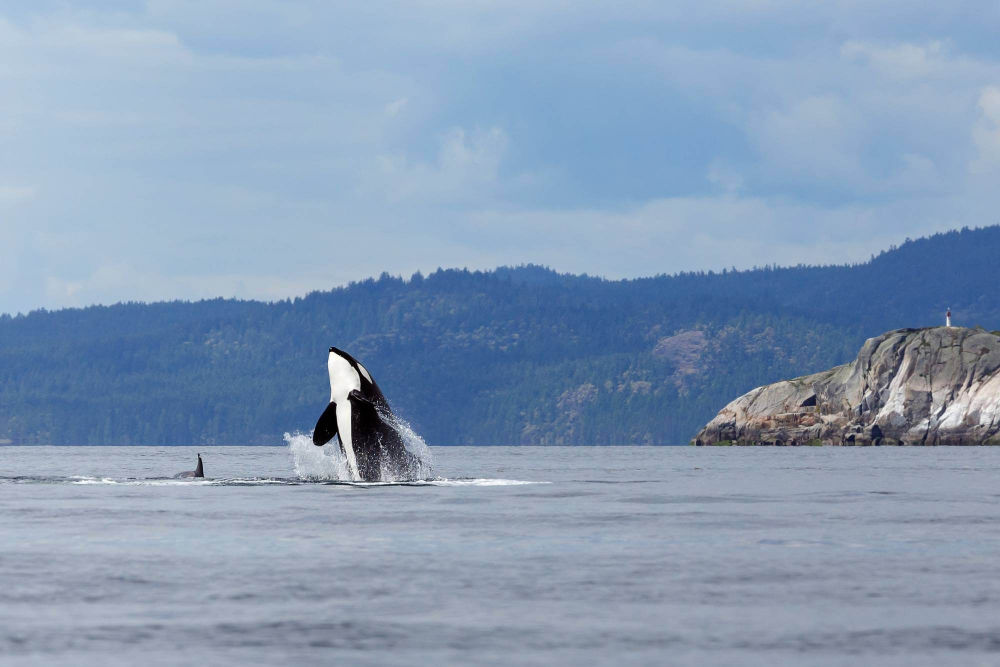 whales off the coast of Vancouver Island.