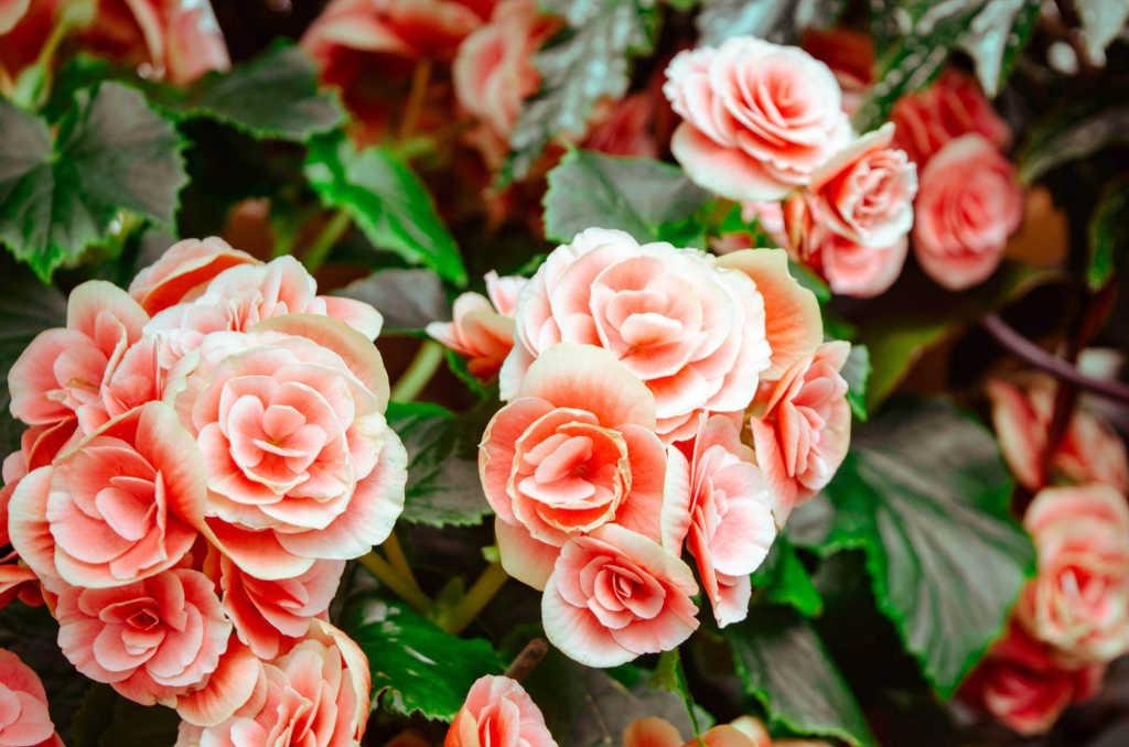 roses in Portland.