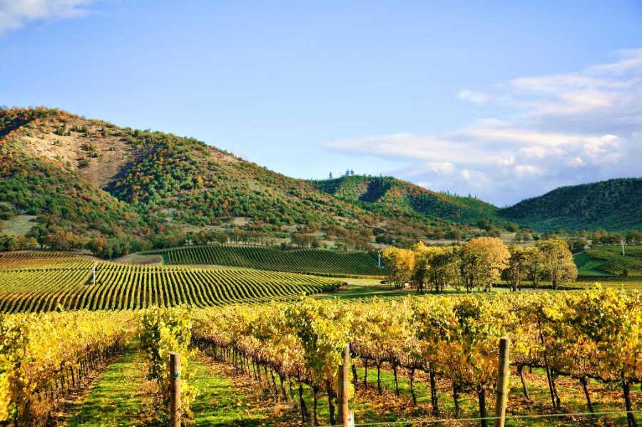 vineyard in Napa Valley.