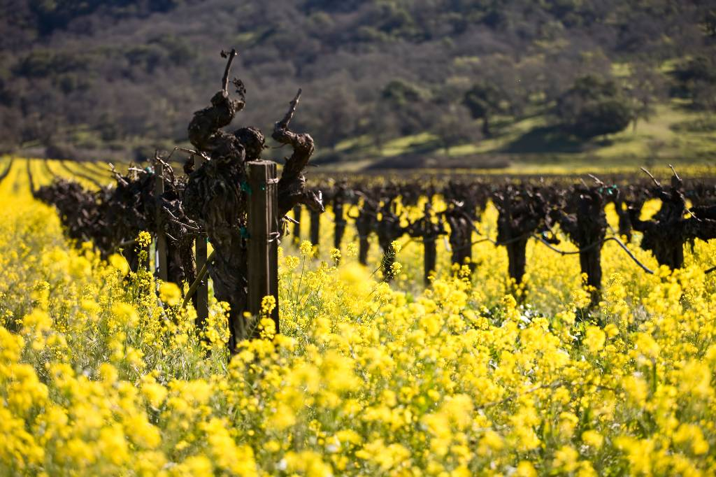 mustard flowers among the wines in Napa Valley.
