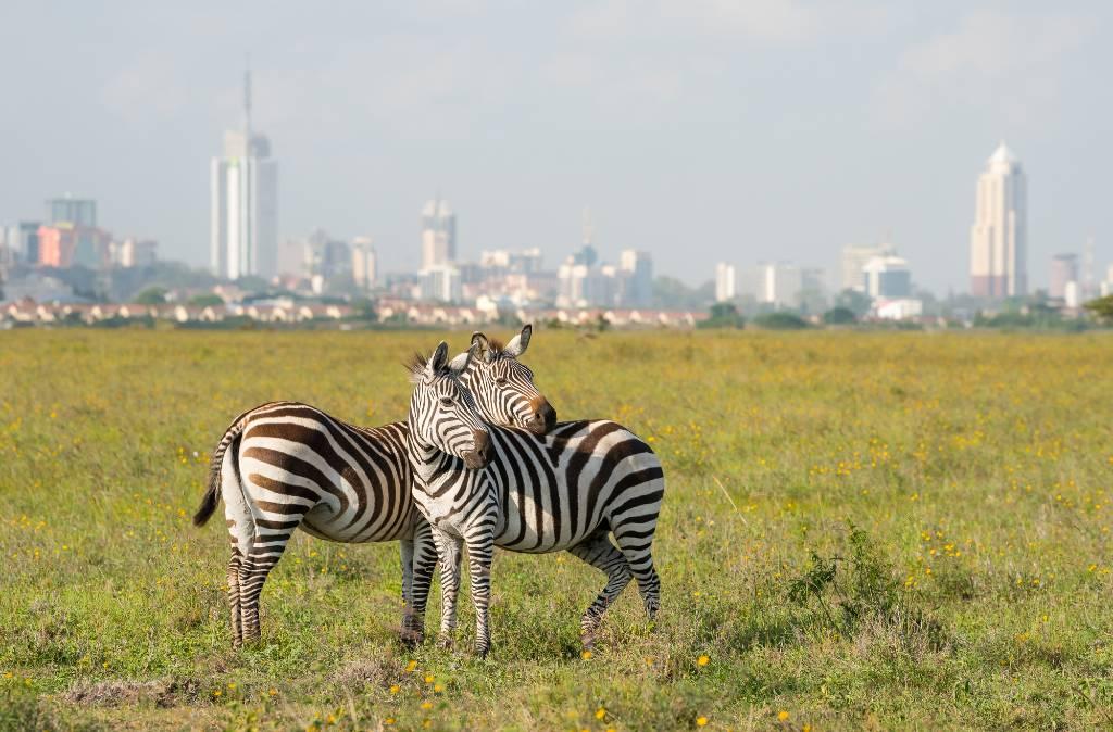 zebras just outside Nairobi.
